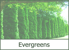 Types of Evergreens for Landscaping