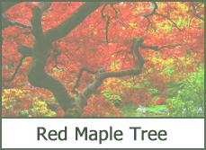 Types of Maple Trees for Landscaping