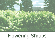 most popular shrubs and bushes