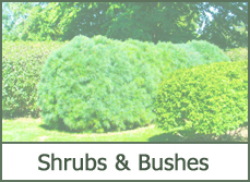 Shrubs and Bushes for Landscaping