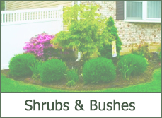 pictures of shrubs for landscaping